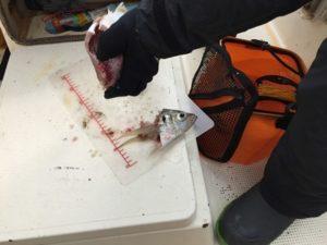 加太沖の鯛
