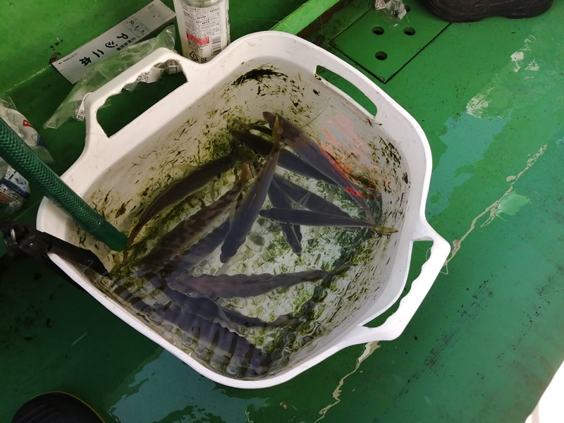 三邦丸のアジ釣り